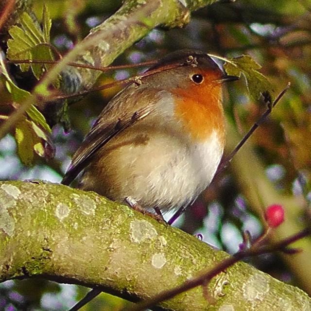 """""""Robin in the sun shine"""" stock image"""