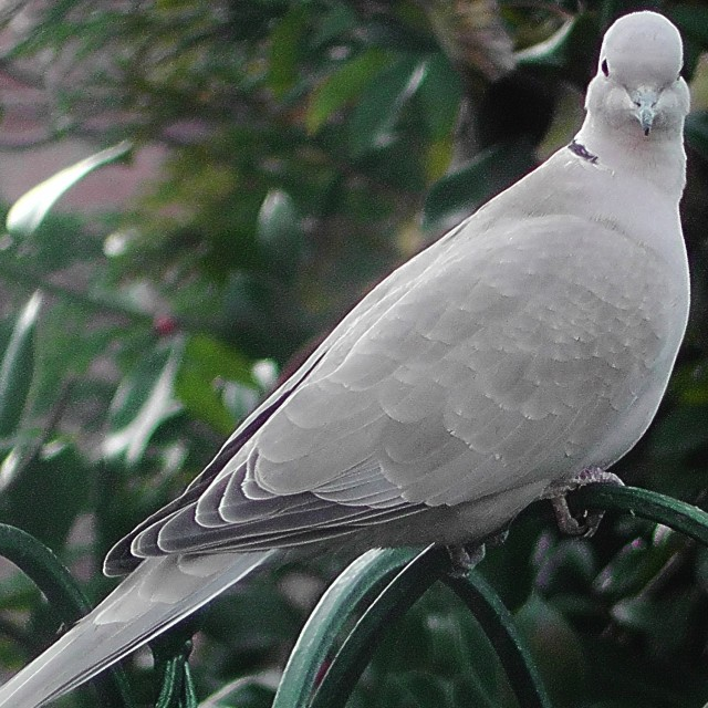 """Collared Dove looking at you"" stock image"