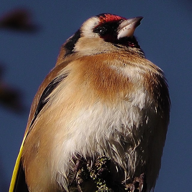 """""""Goldfinch in the sun"""" stock image"""