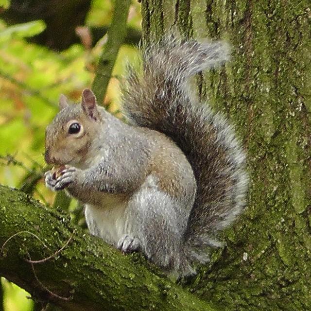 """feeding Squirrel"" stock image"