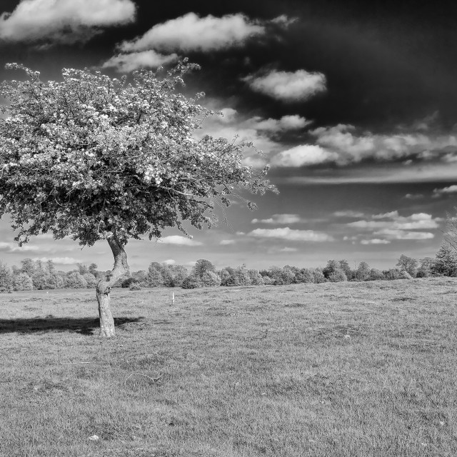 """Tree At Knole Park"" stock image"