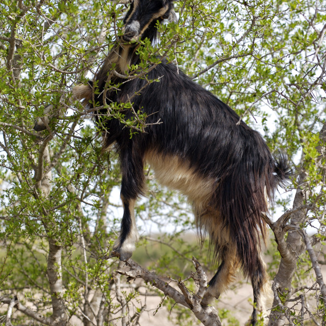 """Tree climbing Goat"" stock image"