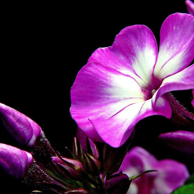 """""""Garden Phlox"""" stock image"""
