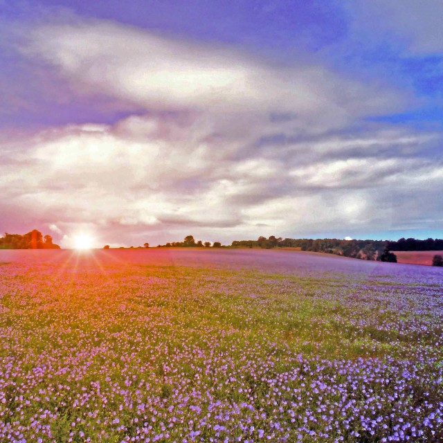 """""""Linseed Glow"""" stock image"""