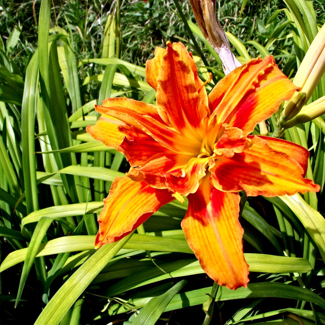 """Orange lily"" stock image"