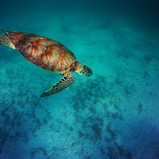 """Sea Turtle, Dude"" stock image"