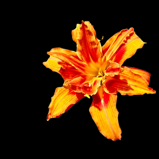 """lily bloom isolated on black"" stock image"