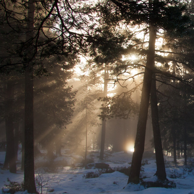 """forest and sunrays"" stock image"