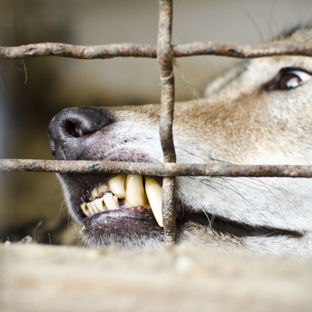 """Wolf in Captivity"" stock image"