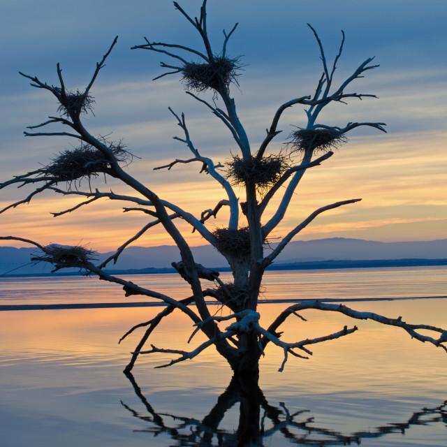 """""""Salton Sea Cormorant Tree"""" stock image"""