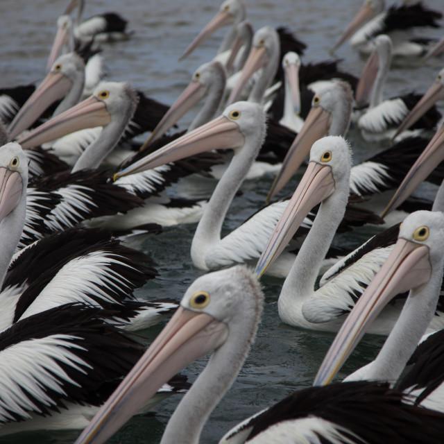 """Freaky Pelicans"" stock image"