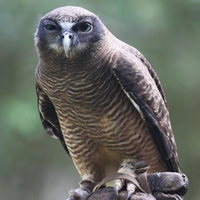 """""""Suspicious Owl"""" stock image"""