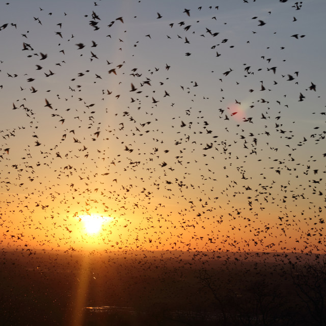 """Starlings at sunset in somerset"" stock image"