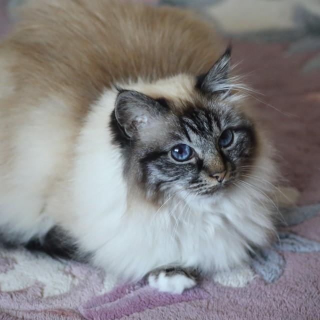 """Cat Sat on the Mat (Birman)"" stock image"