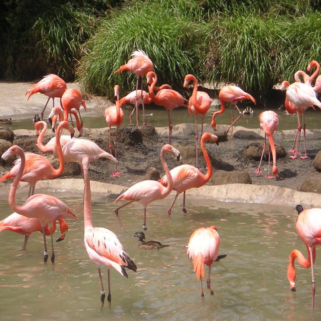 """Pink flamingos"" stock image"