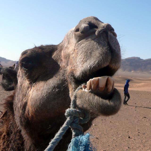 """Camel's head"" stock image"