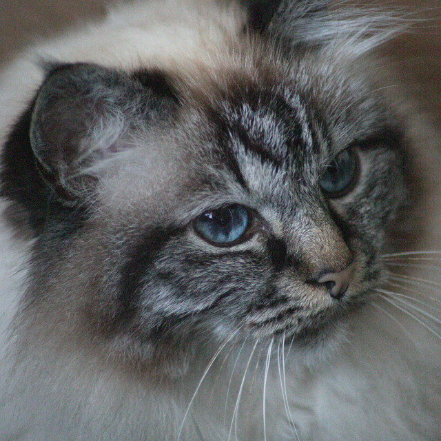 """Cat Portrait (Birman)"" stock image"