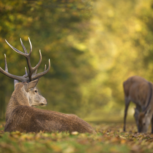 """Resting - Red Deer"" stock image"