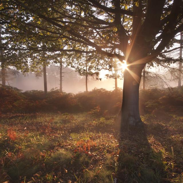 """""""Sunrise, New Forest"""" stock image"""