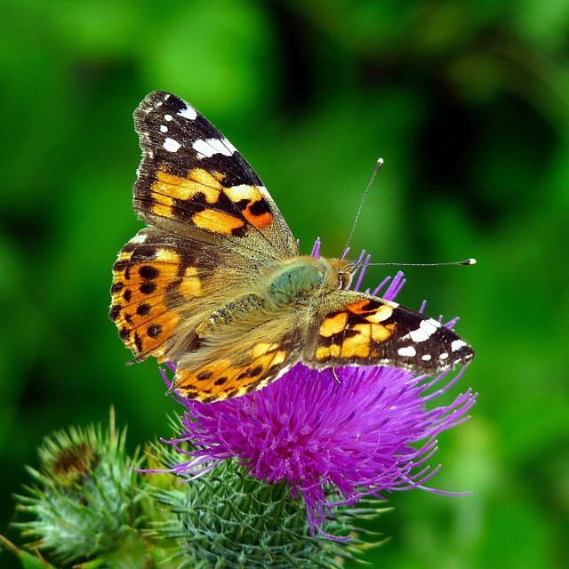 """""""Painted Lady"""" stock image"""