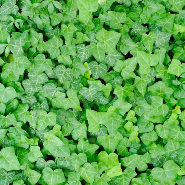 """Green Carpet of Ivy"" stock image"