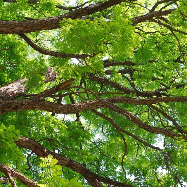 """Kentucky Coffeetree Canopy"" stock image"