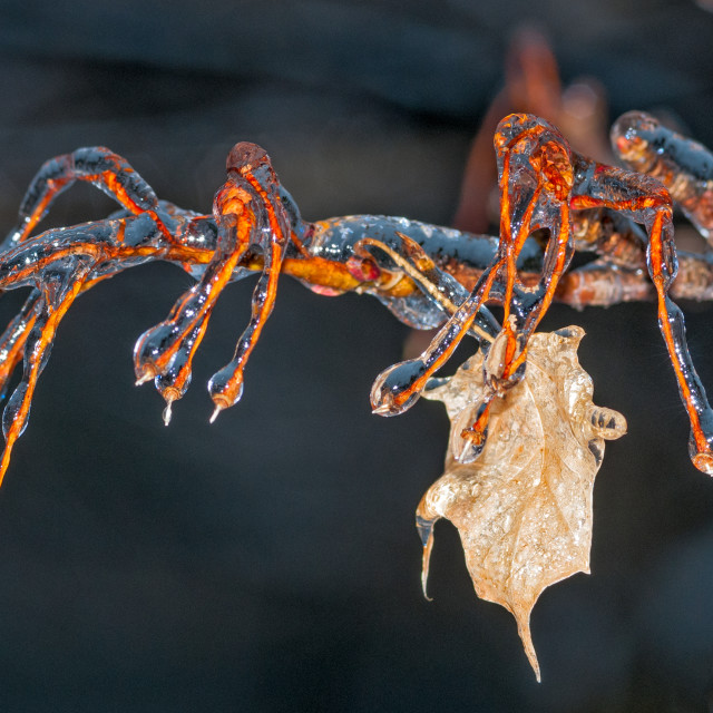 """Frozen Maple Leaf"" stock image"