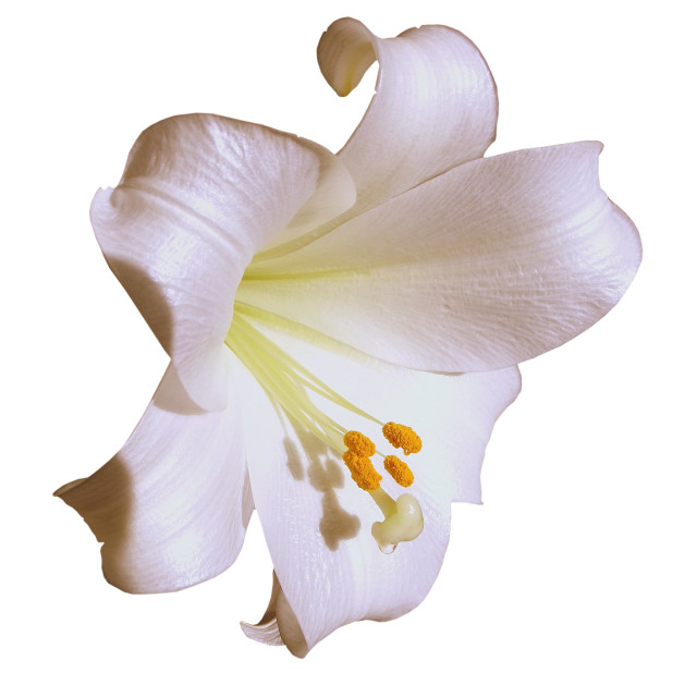 """Xmas lily over white"" stock image"