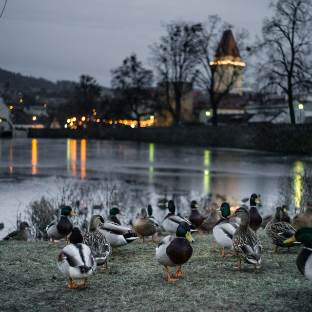 """Ducks and Castle"" stock image"
