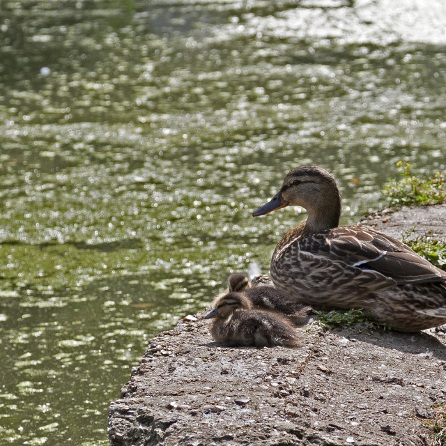 """Duck Family"" stock image"