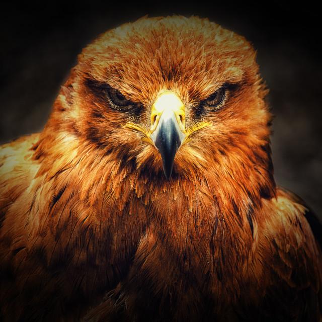 """""""Tawny Eagle"""" stock image"""