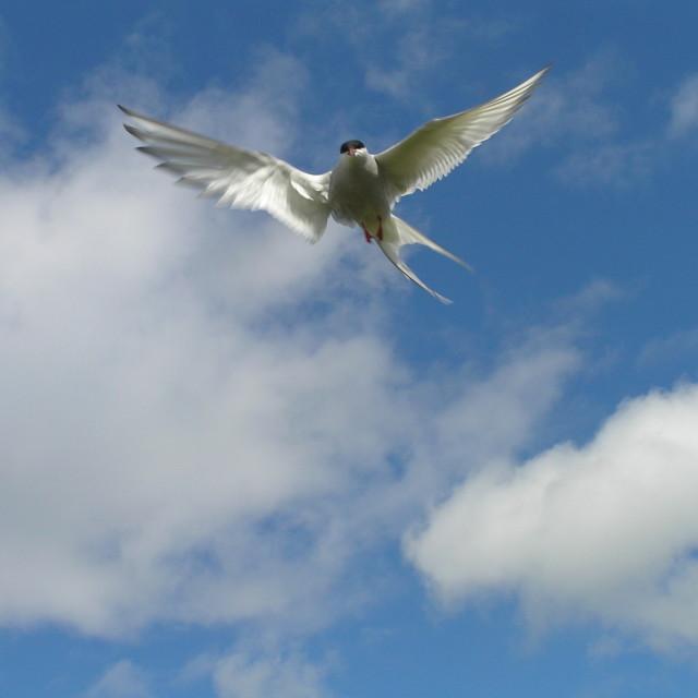 """""""tern"""" stock image"""