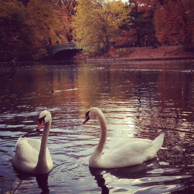 """Swan love."" stock image"