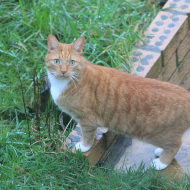 """""""Ginger cat on the prowl"""" stock image"""