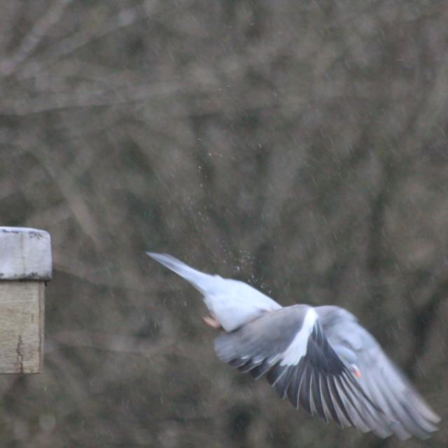 """Swooping Wood Pigeon"" stock image"
