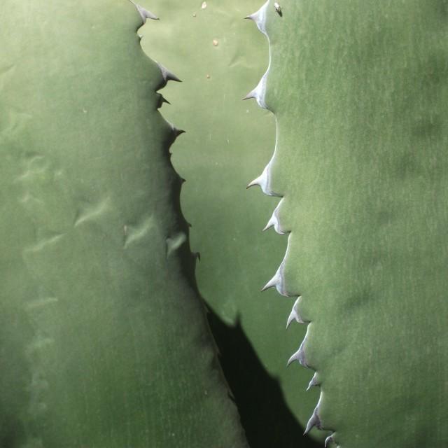 """Cacti"" stock image"