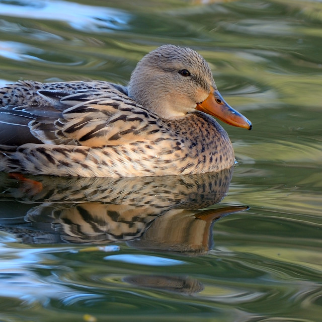 """Mallard Duck"" stock image"