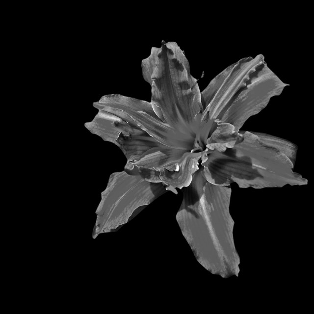 """monochrome lily"" stock image"