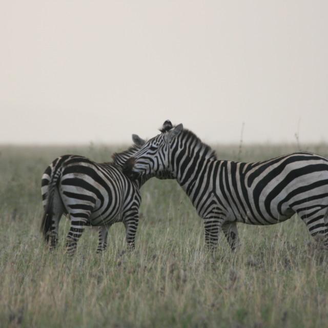 """Zebras nuzzling"" stock image"