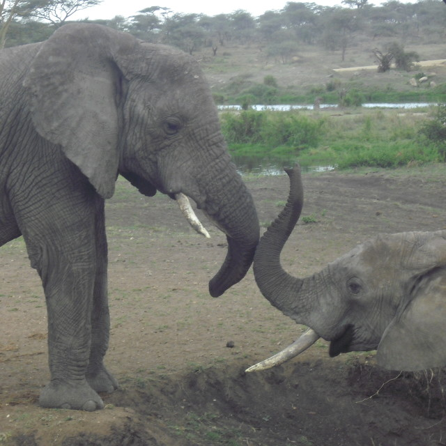 """Elephants fighting"" stock image"