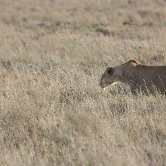 """Female lion stalking in the Serengeti"" stock image"