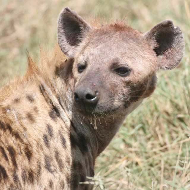 """Hyena in Serengeti"" stock image"