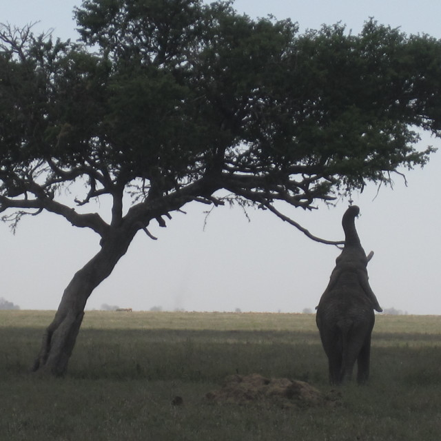 """Elephant eating from an acacia tree"" stock image"