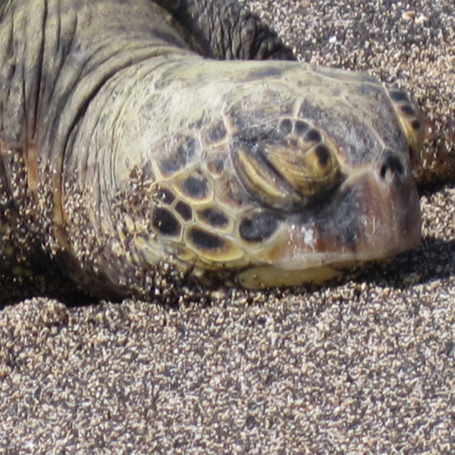 """Sleepy sea turtle in Hawaii"" stock image"