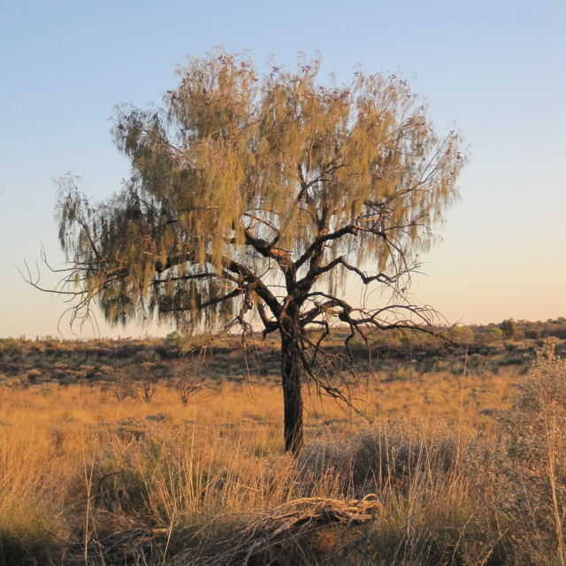"""Tree at sunrise near Ayers Rock"" stock image"