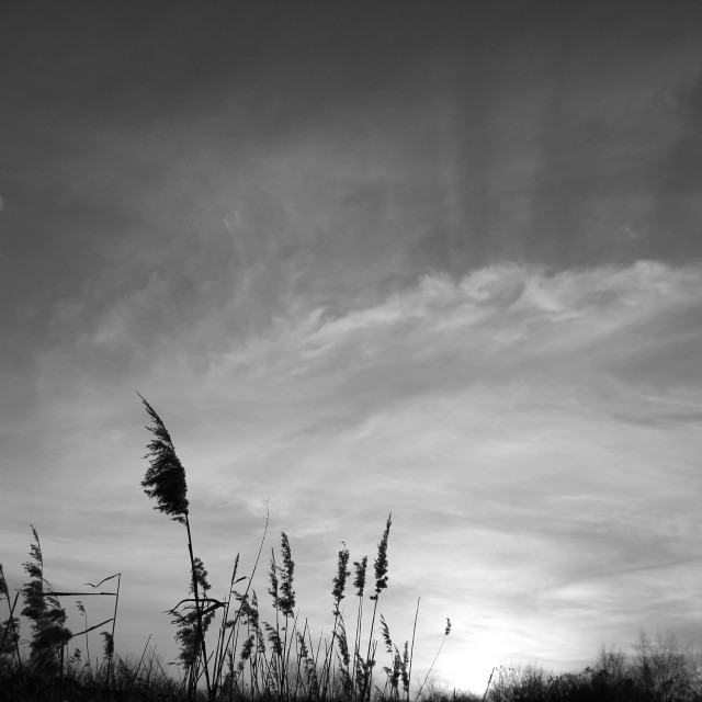 """Reeds at Dusk"" stock image"