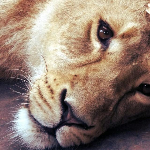 """lioness"" stock image"