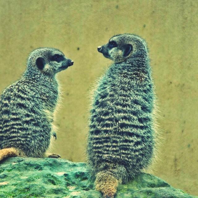 """""""Meerkats"""" stock image"""