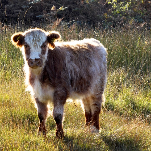 """Sunlit Highland Cow Calf"" stock image"