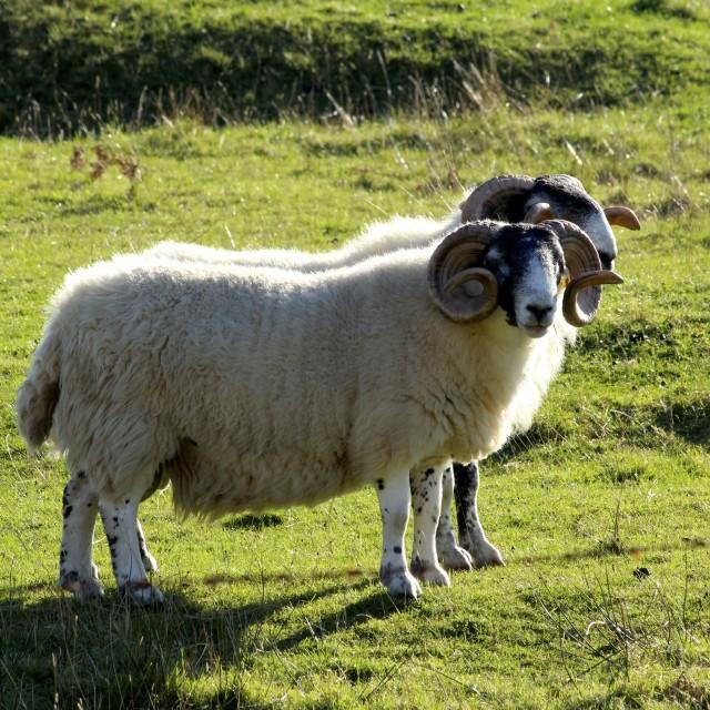"""Two Sheep"" stock image"